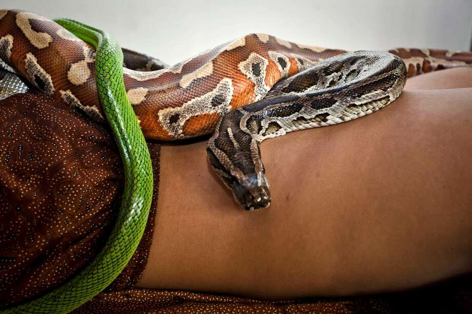 A member of staff demonstrates a massage using pythons at Bali Heritage Reflexology and Spa on October 27, 2013 in Jakarta, Indonesia. The snake spa offers a unique massage treatment which involves having several pythons placed on the customers body. The movement of the snakes and the adrenaline triggered by fear is said to have a positive impact on the customers metabolism. Photo: Getty Images