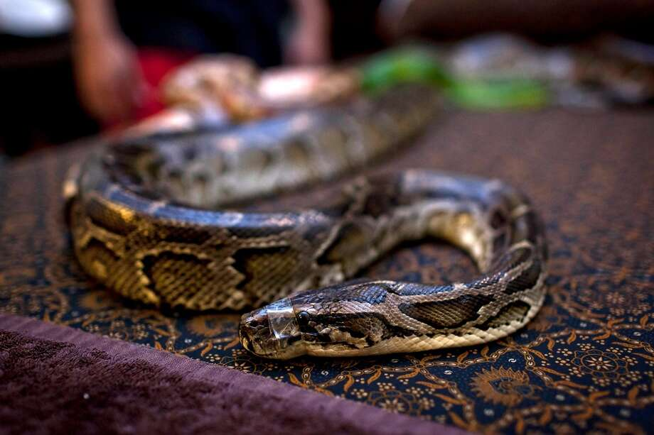 A python lays on the bed at Bali Heritage Reflexology and Spa rooms on October 27, 2013 in Jakarta, Indonesia. The snake spa offers a unique massage treatment which involves having several pythons placed on the customers body. The movement of the snakes and the adrenaline triggered by fear is said to have a positive impact on the customers metabolism. Photo: Getty Images