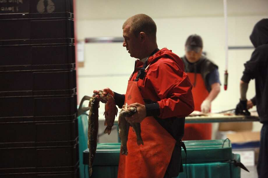 Fish advocate and owner Kenny Belov of TwoXSea carries fish to the cutting table. Photo: Liz Hafalia, The Chronicle
