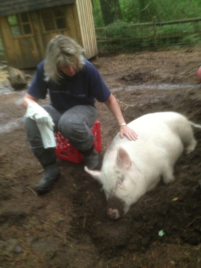 "Former New Canaan Nancy Bolanis has published ""Willow-Mia Pig, 1 in 100 Million,"" a children's book inspired by the rescue of a piglet in Massachusetts. Photo: Contributed Photo, Contributed / New Canaan News Contributed"