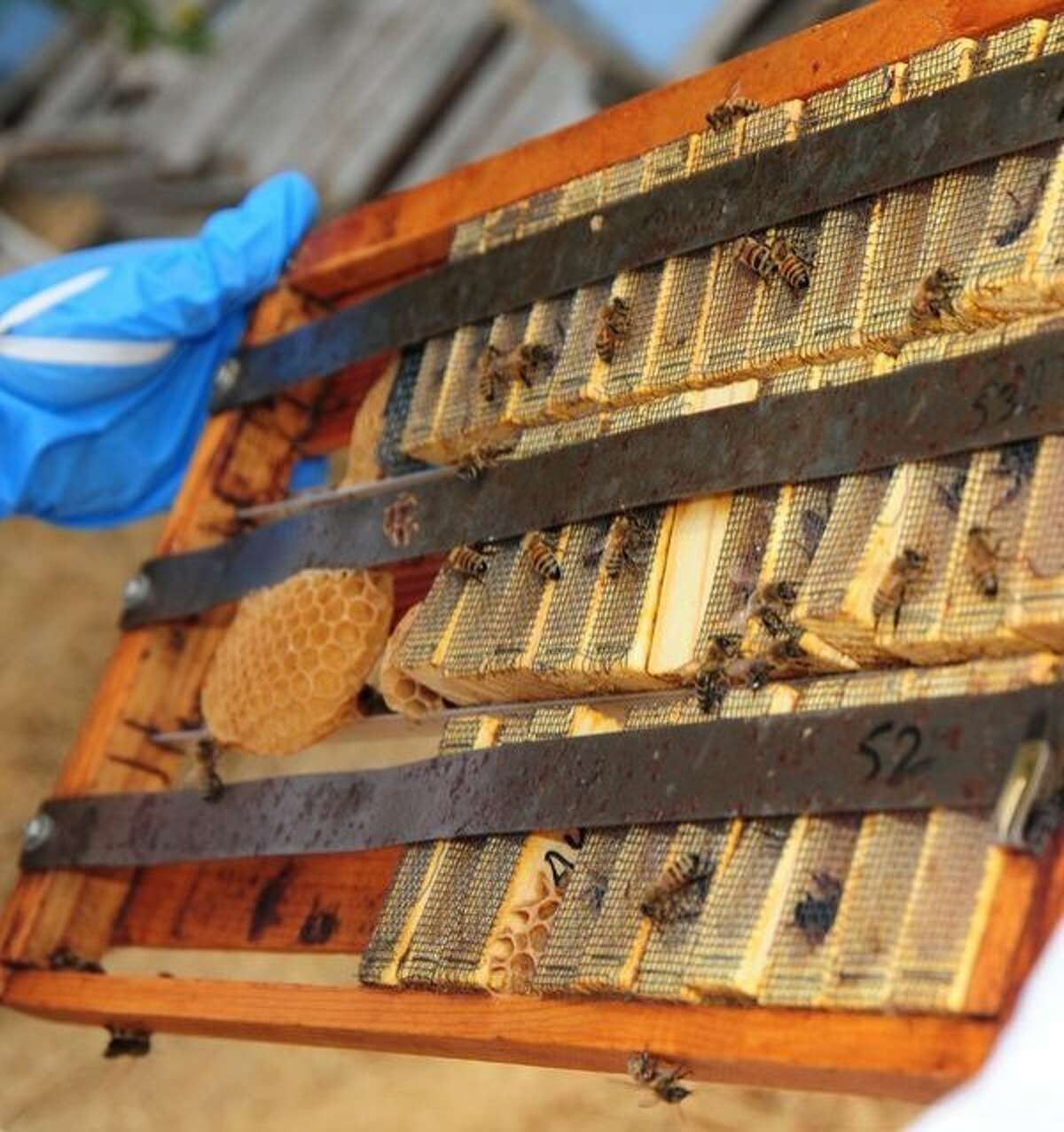 A cage of queens bred for specific pollen hoarding traits at the Harry H. Laidlaw Jr. Honey Bee Research Facility at UC Davis.