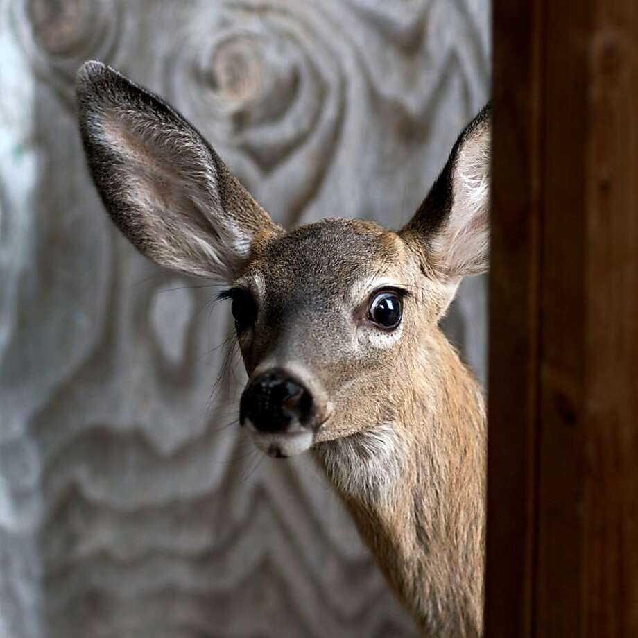 Keeping deer from devouring the plants in a yard and garden requires patience and experimentation with different plants and remedies. Photo: Wildcare Photo By Trish Carney
