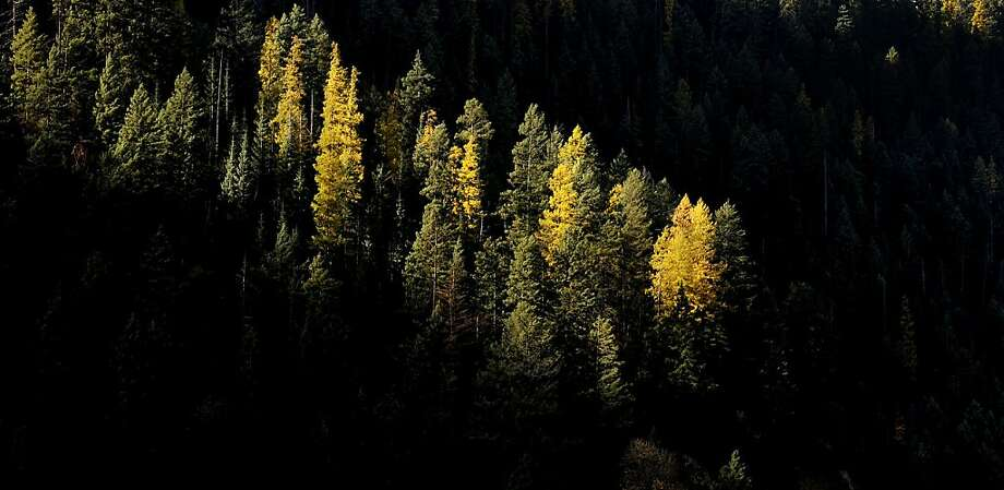 The morning light shines on a line of Tamarack trees near Mineral Ridge in Coeur d'Alene, Idaho, on Monday, Oct. 28, 2013.   (AP Photo/The Spokesman-Review, Kathy Plonka )  COEUR D'ALENE PRESS OUT Photo: Kathy Plonka, Associated Press