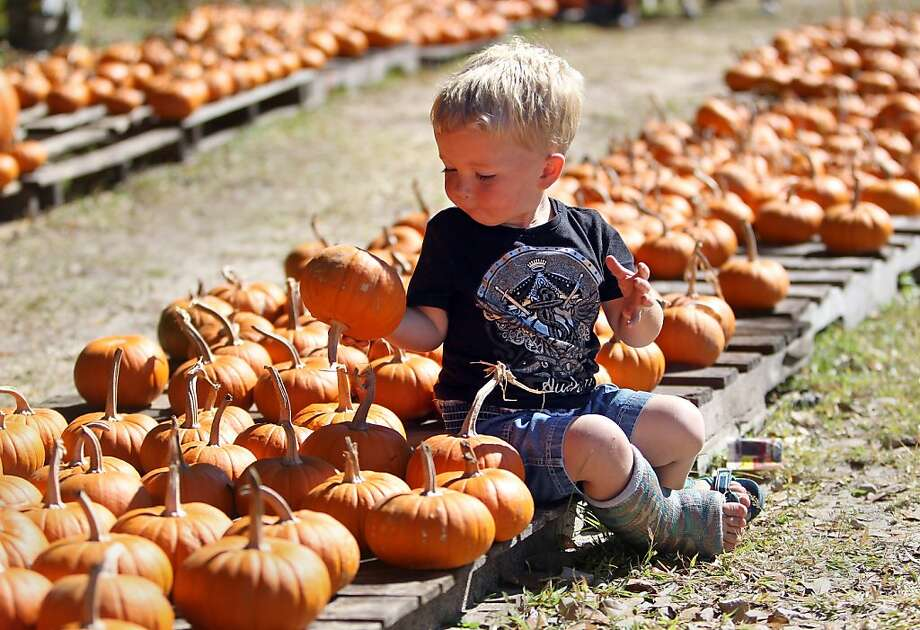 Liam Wright-Ryan, 2, of New Port Richey, Fla.,  carefully selects his pumpkin while shopping with his mother, Liz Wright, and siblings Monday afternoon, Oct. 28, 2013, at the pumpkin patch at Faith United Methodist Church on State Road 52 in Hudson, Fla. This is the 21st year of the pumpkin patch at the church, which ordered 59,000 pounds of pumpkins for this year's event. The pumpkin patch is open daily from 10 a.m. to 8 p.m. through October 31.  (AP Photo/The Tampa Bay Times, Brendan Fitterer) TAMPA OUT; CITRUS COUNTY OUT; PORT CHARLOTTE OUT; BROOKSVILLE HERNANDO TODAY OUT; USA TODAY OUT Photo: Fitterer, Brendan, Associated Press