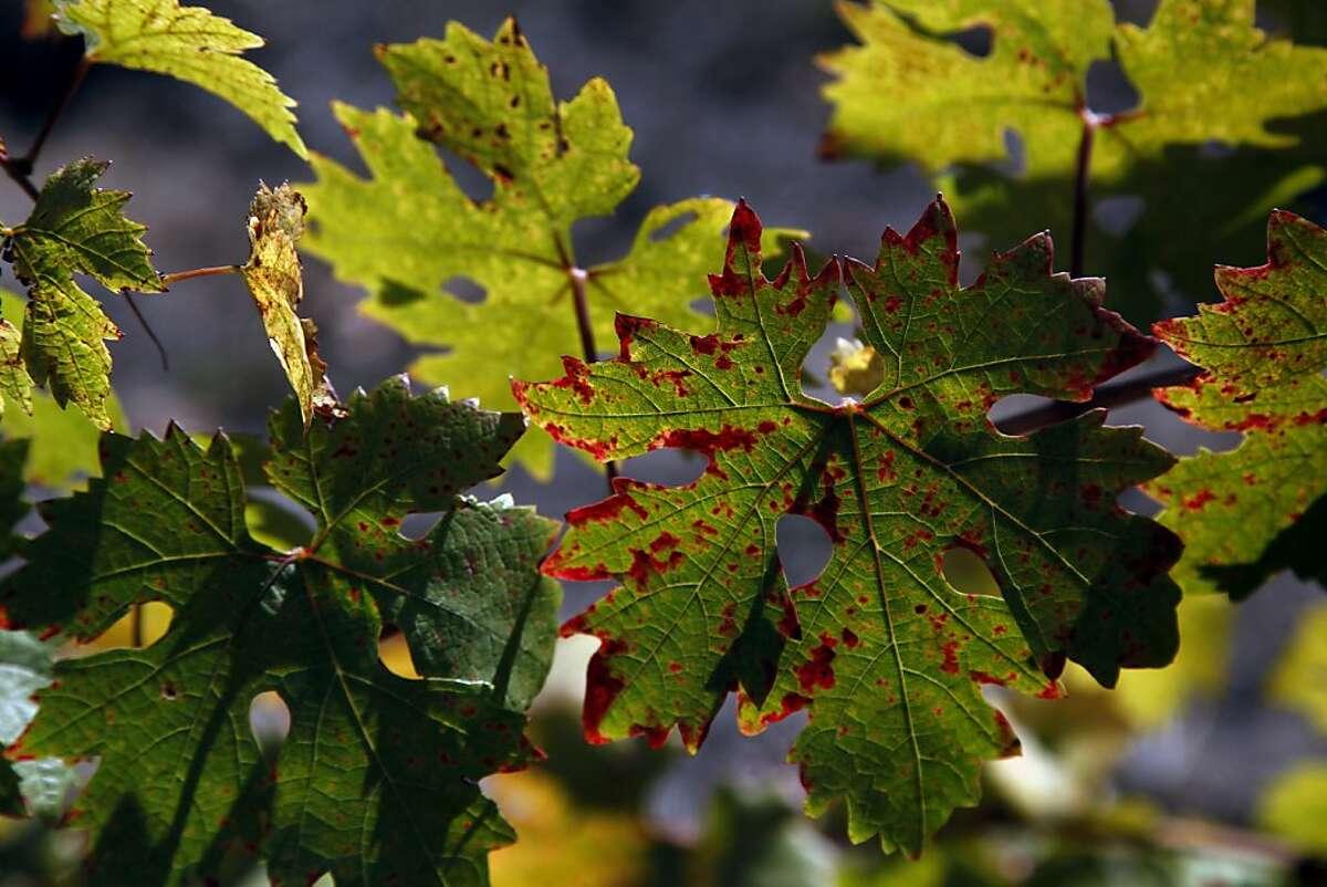 Leaves on Zinfandel vines show tinges of fall color at the Porter-Bass Vineyard in Guerneville.