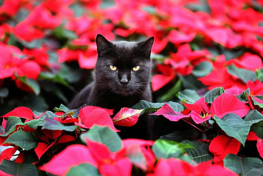 Black cats traditionally work Halloween,but not Elmo. He's already getting ready for Christmas in a greenhouse in Barth, Germany. (Ed's note: Cat owners - keep your kitties inside over Halloween regardless of their color. Revelers have been known to do harm to cats on All Hallows' Eve.) Photo: Bernd Wuestneck, Associated Press