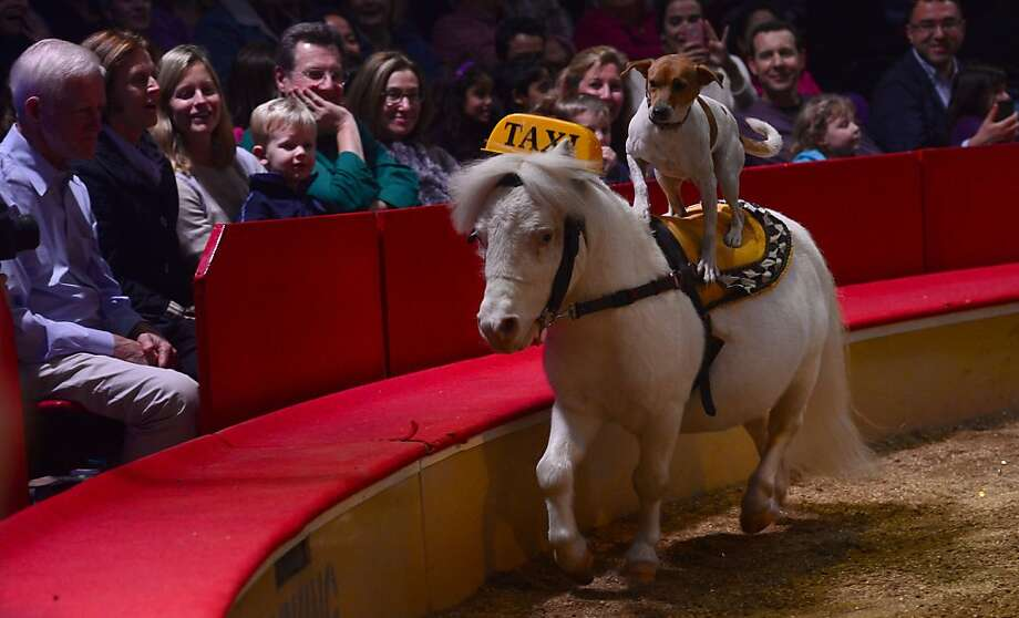 Stop going around in circles! You're trying to rip me off! You just can't trust New York cabbies. (Animal trainer Jenny Vidbel's act in the Big Apple Circus is not your ordinary dog-and-pony show.) Photo: Emmanuel Dunand, AFP/Getty Images