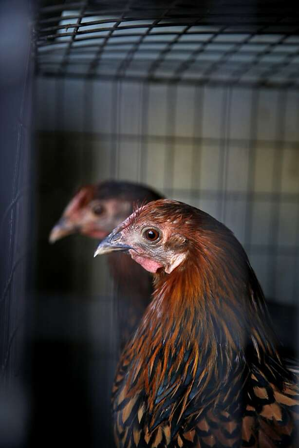 Wyandotte chickens are on display at Western Farm Center pet and feed store. Photo: Preston Gannaway, Special To The Chronicle
