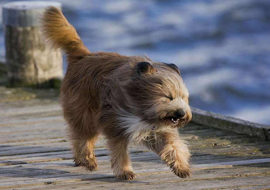 I can see! I can see!A gust from a storm on Germany's Baltic Sea island of Poel blows back fur that normally settles over a longhair's eyes. Photo: Jens Buettner, Associated Press