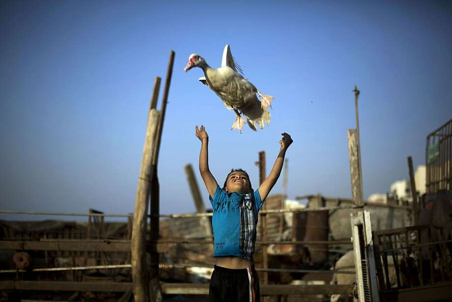 A Palestinian boy plays with a duck near the house of Palestinian prisoner Omar Massud's family, held by Israel since 1993, prior to his release in Gaza City on October 29, 2013. Israel is preparing to release 26 long-serving Palestinian prisoners, the second batch of 104 inmates who are to be freed in line with commitments to US-brokered peace talks. TOPSHOTS/AFP PHOTO/MOHAMMED ABEDMOHAMMED ABED/AFP/Getty Images Photo: Mohammed Abed, AFP/Getty Images