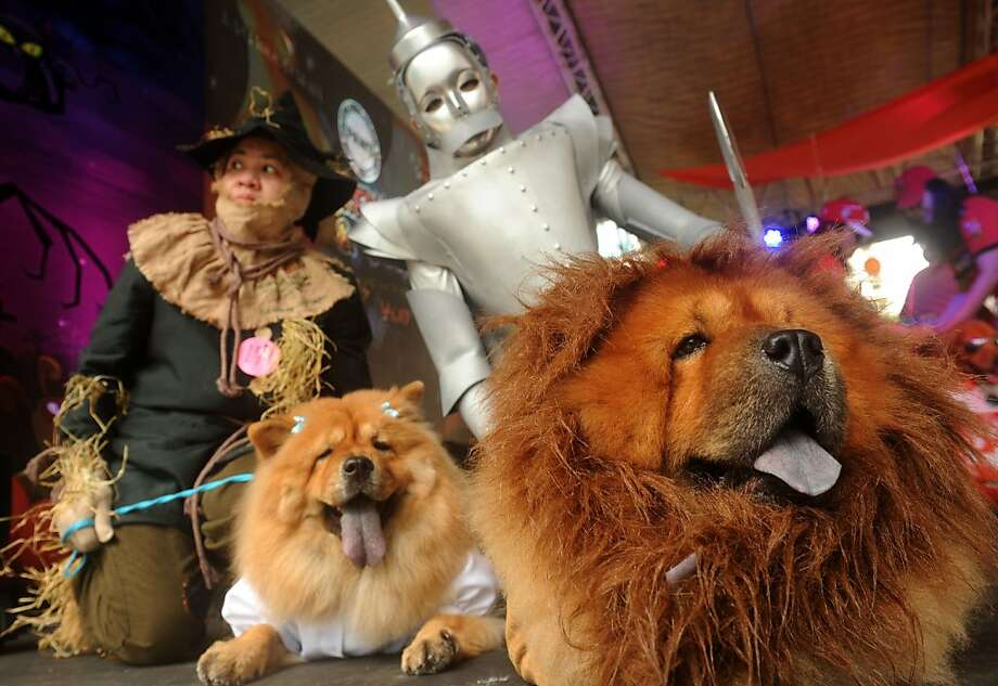 This place is crawling with Cowardly Lions: Don't you just hate it when someone wears the same costume as you to a Halloween party? (Scaredy Cats and Dogs Halloween costume competition in Manila.) Photo: Noel Celis, AFP/Getty Images
