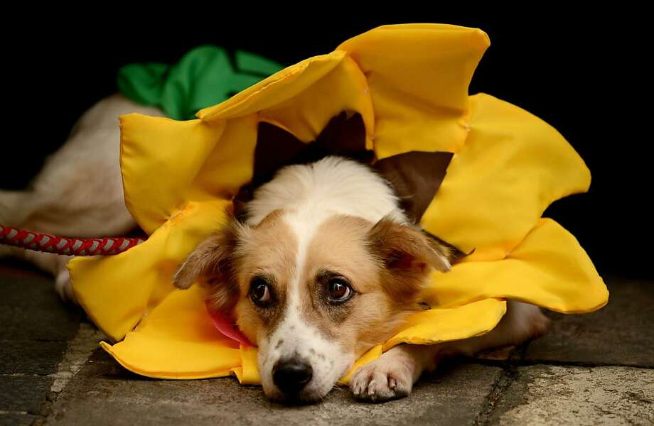 Water me:A sunflower begins to wilt at the Scaredy Cats and Dogs Halloween costume competition, a fundraiser for the PAWS animal-rights group in Manila. Photo: Noel Celis, AFP/Getty Images