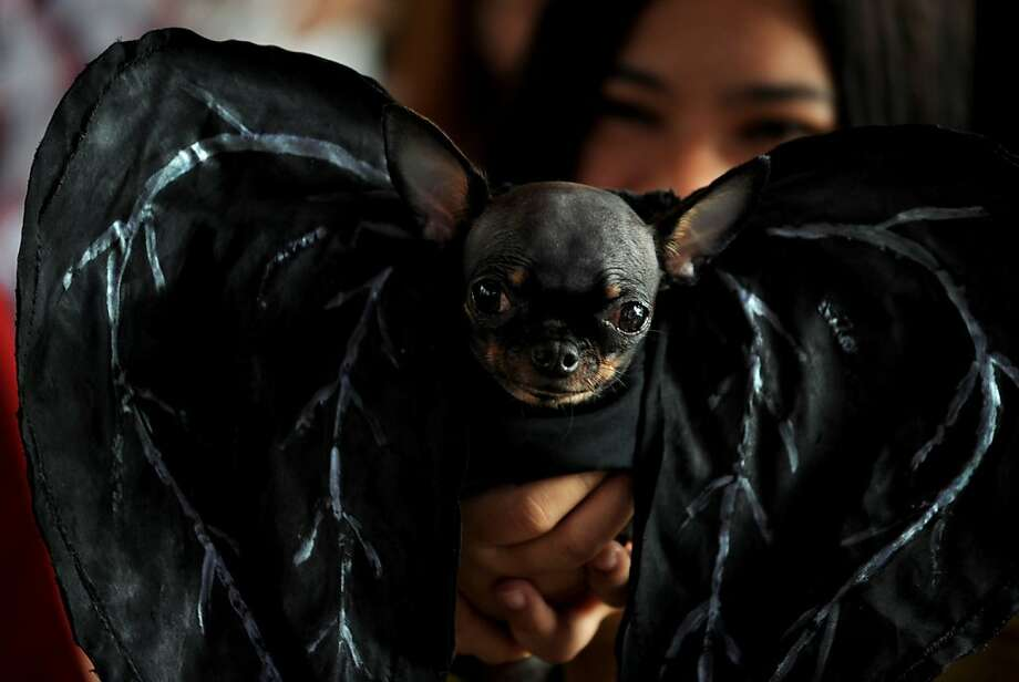 Just add wings:It really isn't that big a leap from Chihuahua to vampire bat. (Scaredy Cats and Dogs Halloween costume competition in Manila.) Photo: Noel Celis, AFP/Getty Images