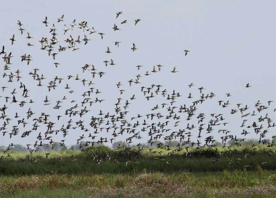 A swarm of blue-winged teal boil over a managed wetland in Matagorda County that benefited from recent rains that helped fuel an explosion of smartweed and other vegetation on which wintering waterfowl depend. Photo: Picasa