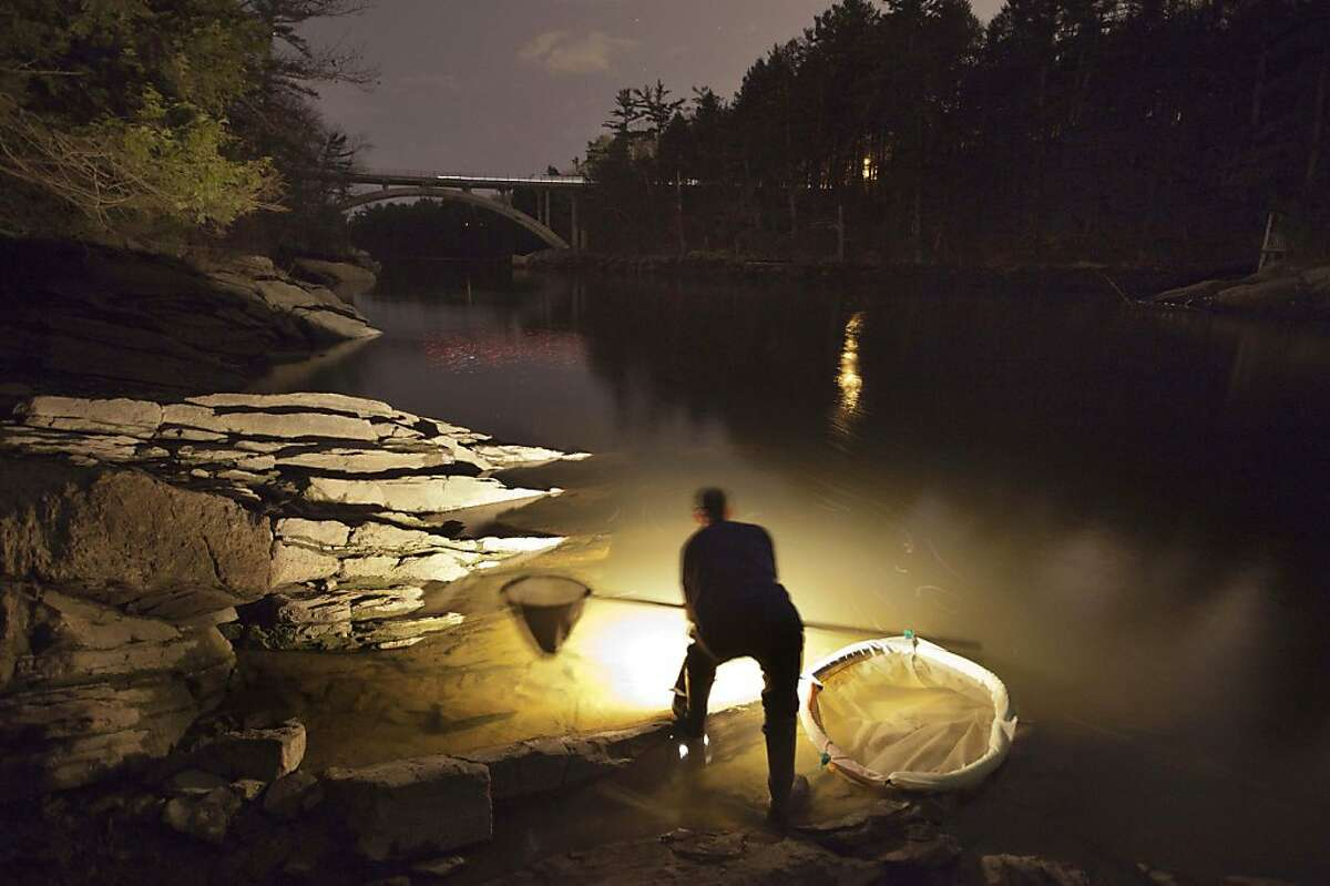 FILE - In this March 23, 2012 file photo, Bruce Steeves uses a lantern to net young translucent eels known as elvers on a river in southern Maine. Regulators from East Coast states are meeting Wednesday, Oct. 30, 2013, in Georgia to consider new regulations that could place strict limits on or even close down Maine's lucrative glass eel fishery. (AP Photo/Robert F. Bukaty, File)