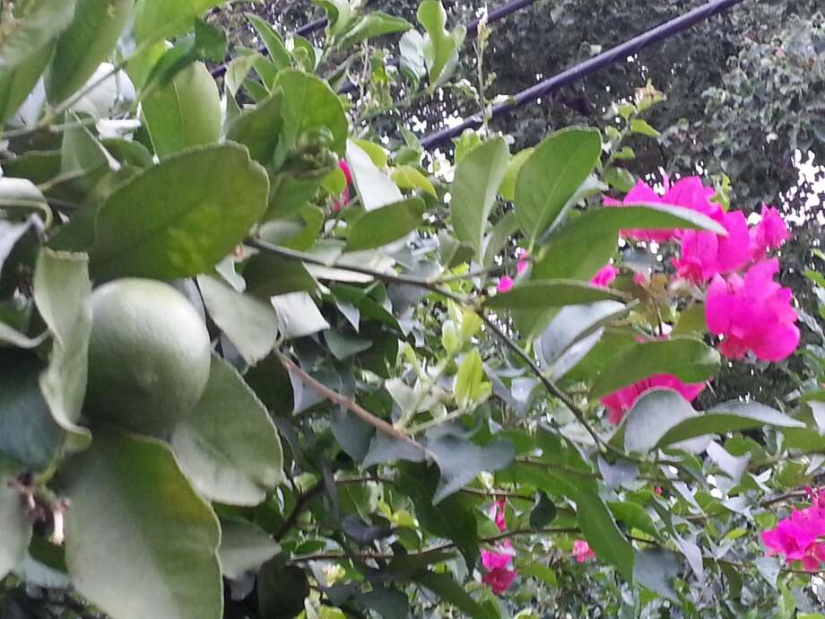Loved the juxtaposition of the lime tree and bougainvillea. Photo: Emily Spicer, San Antonio