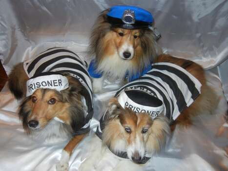 These are my three adorable Shelties Sophie, Emmalea and Celie. Sophie is the cop and Emmalea (right) and Celie (left) are her prisoners.