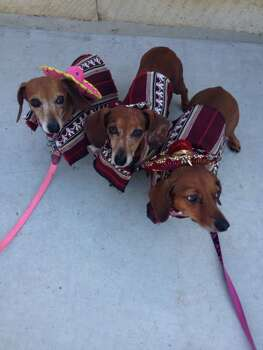The 3 Amigos are Krystal, KD, and Keelie. Miniature daschunds that are best friends.