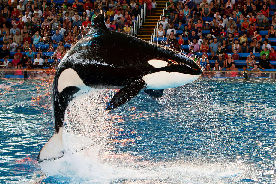 "A killer whale leaps during the ""One Ocean""  show at SeaWorld San Antonio. Whales' captivity isn't entirely a negative thing. Photo: File Photo, San Antonio Express-News"