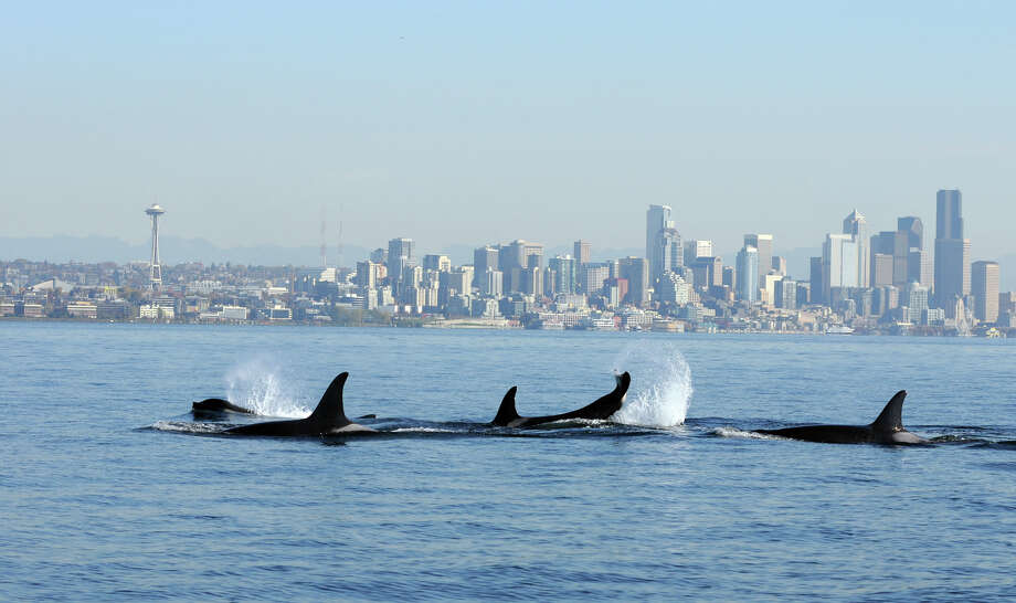 Orcas pictured just outside Elliott Bay on Oct. 29, 2013, in a photo provided by Candice Emmons of the National Oceanographic and Atmospheric Administration's Northwest Fisheries Science Center. The photo was collected under a federal research permit. /