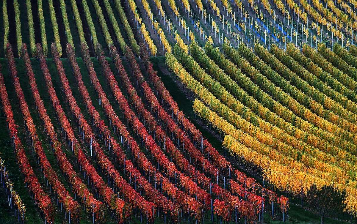 In this picture made available Thursday, Oct. 31, 2013, vineyards are autumnally colored near Marktbreit, southern Germany, Wednesday, Oct. 30, 2013. (AP Photo/dpa, Karl-Josef Hildenbrand)