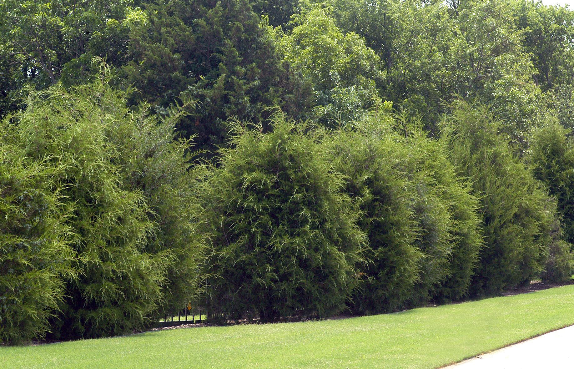 Red Cedar Hedge ~ Neil sperry eastern red cedar as a hedge starting plants