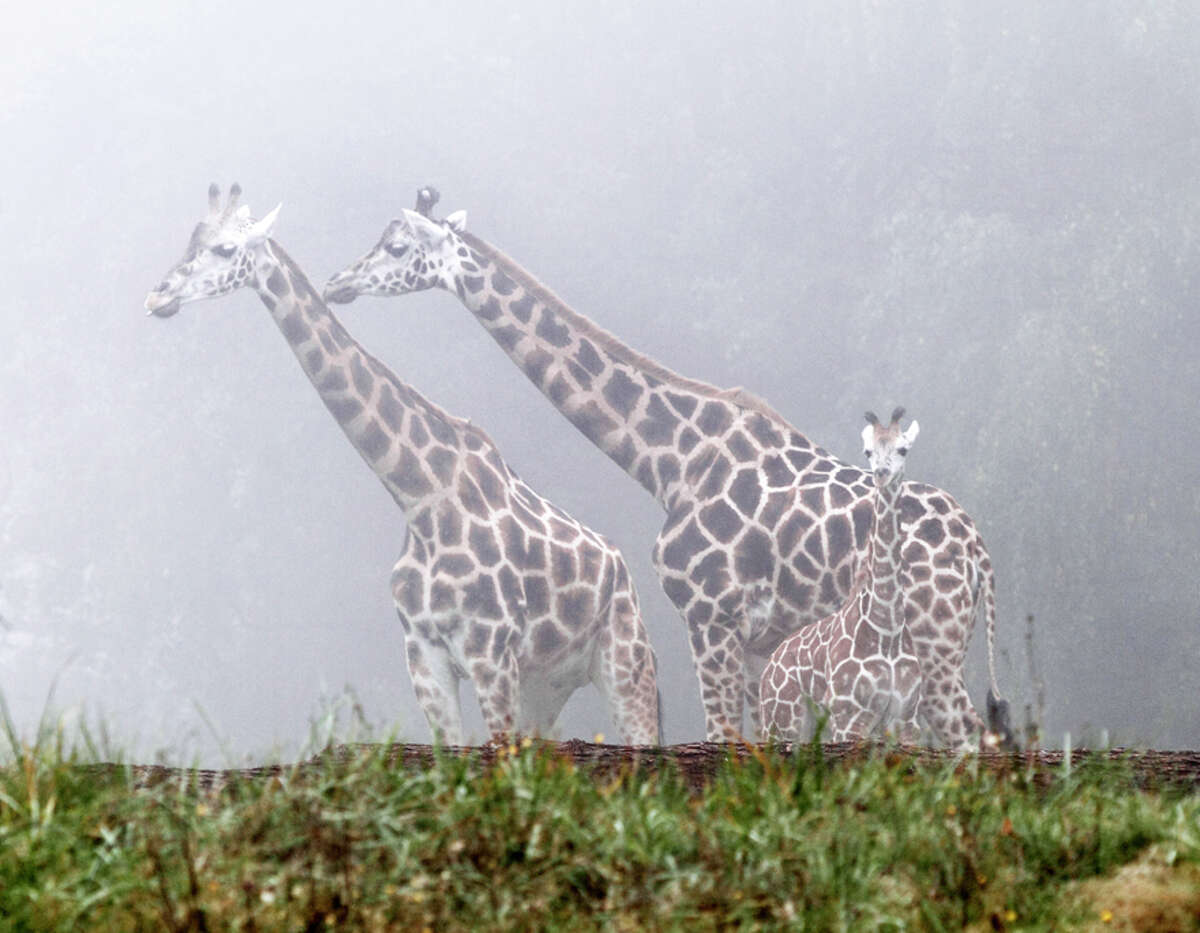 Woodland Park Zoo's 3-month-old male giraffe is being introduced to the savanna in short sessions depending on the weather. Viewing hours on the savanna are not set. When not on the savanna, the baby, mom and aunt can be viewed in an outdoor corral.