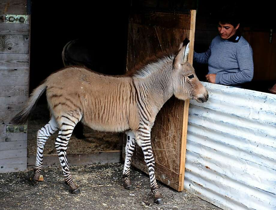 "I told you not to sit on that bench with the 'Wet Paint' sign: Ippo the ""zonkey"" (half zebra, half burro) greets his keeper at a zoo in Florence, Italy. Disney has requested rights to the foal's image in order to make a zonkey cartoon. Photo: Tiziana Fabi, AFP/Getty Images"