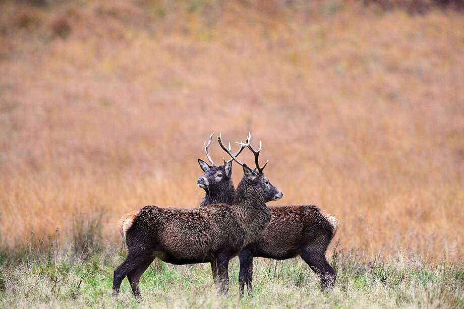 Instead of violently locking horns, how about best out of three Odds or Evens? The rutting season for red deer stags to determine mating rights draws to a close in Glen Etive, Scotland. Photo: Jeff J Mitchell, Getty Images