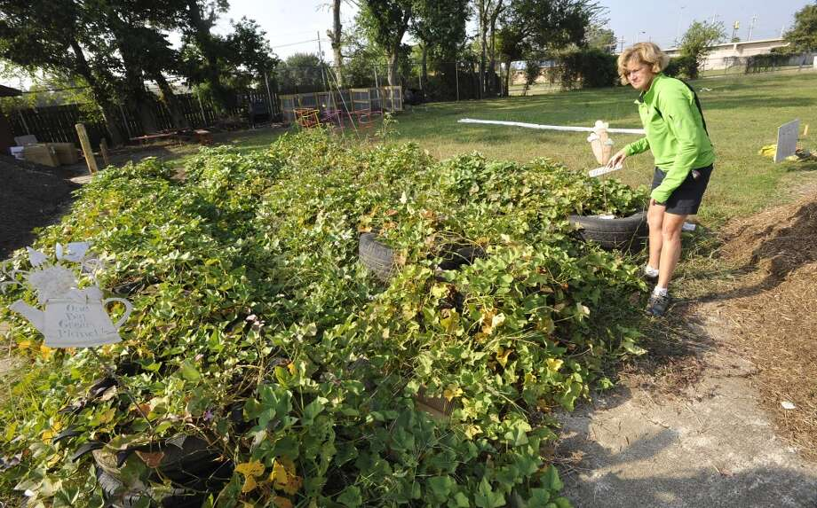 Mary Mahlie, Co-Chairwoman of the Giving Field on Liberty Street, looks over a batch of rubber tire grown sweet potatoes that will be re-planted Saturday. On land owned by St. Anne Catholic Church in Beaumont, the first dig in the new community Giving Field, will be Saturday October 13, 2012. The new garden will provide vegetables and fruit to Some Other Place in Beaumont and The Hospitality Center in Port Arthur as well as other members of the community in need of fresh produce. It will also include a labrynth for meditation and a chicken coop to produce fresh eggs in future phases of development. Dave Ryan/The Enterprise Photo: Dave Ryan/The Enterprise