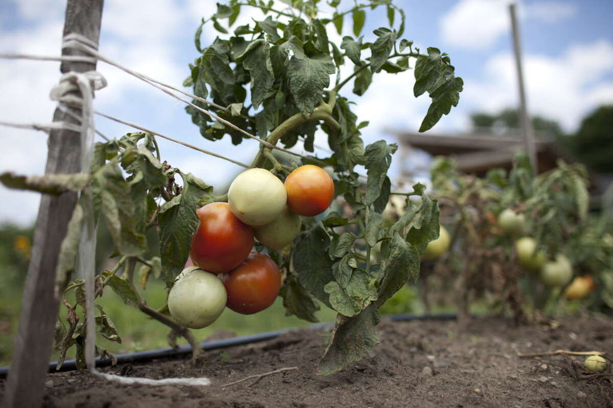 Tomato plants growing at the Capital District Community Garden on Eighth Street in Troy, N.Y. (Dan Little/Special to the Times Union)