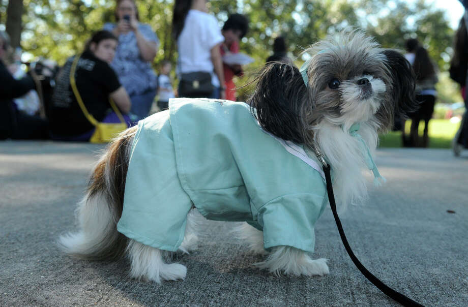 """Doodle"", 14 months, wearing his ""dogtor"" scrubs, checks out this competition during the Kingwood Barkfest Costume Contest in Kingwood Town Center on Saturday. ""Doodle"", who is owned by Dot Olson, of Kingwood, is a member of ""The Bright & Beautiful Therapy Dogs"" and visits the Herman Memorial Med Center and the Health South Rehab Center in Humble. Photo: Jerry Baker, For The Chronicle"