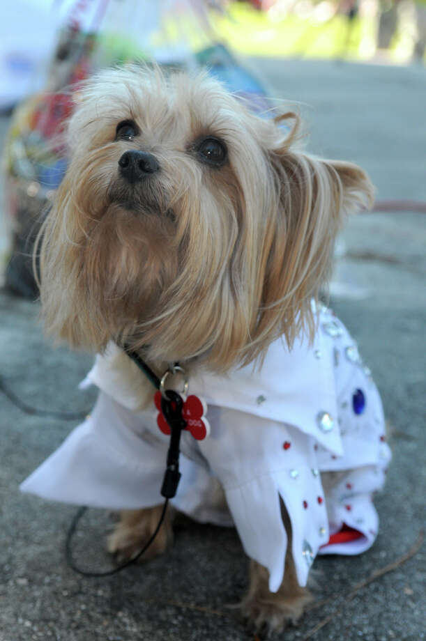 """Buddy Joe"", a six-year old rescue Yorkie owned by Stephanie Hoverman, of Houston (77092), shows off his sequined suit, part of his ""Elvis"" costume, during the Kingwood Barkfest Costume Contest in Kingwood Town Center on Saturday. ""Buddy Joe"", is a member of ""The Bright & Beautiful Therapy Dogs"" and visits the Rosemont Assisted Living Facility in Atascocita. Photo: Jerry Baker, For The Chronicle"