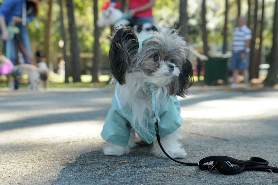 """""""Doodle"""", 14 months, wearing his """"dogtor"""" scrubs, checks out this competition during the Kingwood Barkfest Costume Contest in Kingwood Town Center on Saturday. """"Doodle"""", who is owned by Dot Olson, of Kingwood, is a member of """"The Bright & Beautiful Therapy Dogs"""" and visits the Herman Memorial Med Center and the Health South Rehab Center in Humble. Photo: Jerry Baker, For The Chronicle"""
