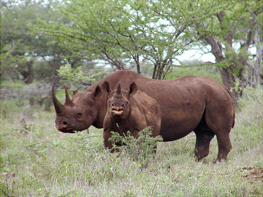 In this Jan. 5, 2003, photo released by U.S. Fish and Wildlife Service shows a black rhino male and calf in Mkuze, South Africa. The organizer of a Texas hunting club's planned auction of a permit that will allow a hunter to bag an endangered black rhino in Africa is hoping it raises up to $1 million for rhino preservation. Photo: Karl Stromayer, AP / AP2013