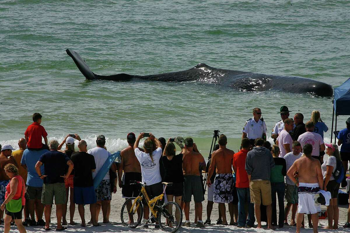 A crowd gathers to look at a sperm whale that beached itself off of Madiera Beach, Fla., Thursday, Oct. 31,2013. Wildlife officials say they plan to euthanize the beached whale. (AP Photo/The Tampa Bay Times, Scott Keeler)
