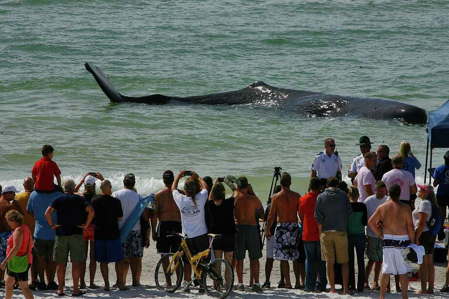 A crowd gathers to look at a sperm whale that beached itself off of Madiera Beach, Fla., Thursday, Oct. 31,2013. Wildlife officials say they plan to euthanize the beached whale. (AP Photo/The Tampa Bay Times, Scott Keeler)  Photo: Keeler, Scott, AP / Tampa Bay Times
