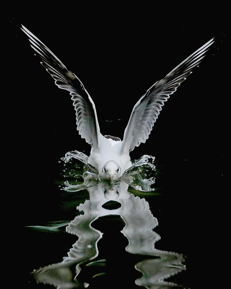 Splashdown!A feathered flier comes in for a water landing on a glassy pond in Dublin, Ireland. Photo: Niall Carson, Associated Press