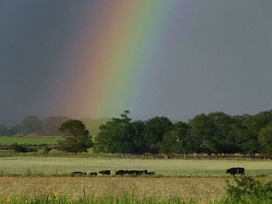 A rainbow shines in the sky over cattle in a field east of Fredericksburg, Texas, before rain on Saturday, July 7, 2012. Photo: Billy Calzada, San Antonio Express-News / ¨ 2012 San Antonio Express-News