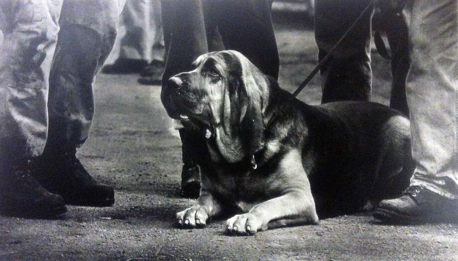 Major, a bloodhound, takes a short rest as his owner chats with other search and rescue workers. Photo shot Feb. 26, 1990. (Photo by Ellen Banner, copyright MOHAI, Seattle Post-Intelligencer Collection, 2000.107) Photo: MOHAI Archive