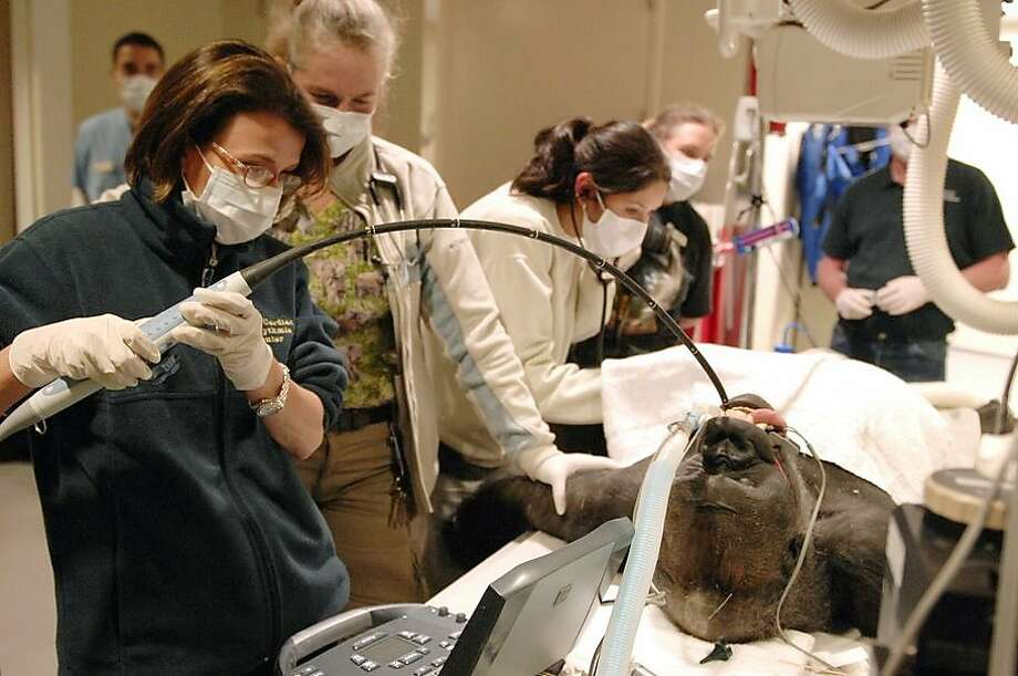 If you bait your hook with banana, this is bound to happen:Actually Dr. Natterson-Horowitz is not reeling in the gorilla but rather inserting a probe into its esophagus in order to perform a diagnostic test on its heart at the Los Angeles Zoo and Botanical Gardens. Photo: Barbara Natterson-Horowitz, M.D., Associated Press