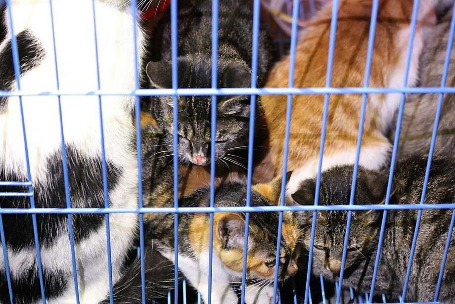 Saved from slaughter, then abandoned: Rescued kitties huddle in a cage in Wuxi, east China's Jiangsu province. Animal activists were combing a forest for 
