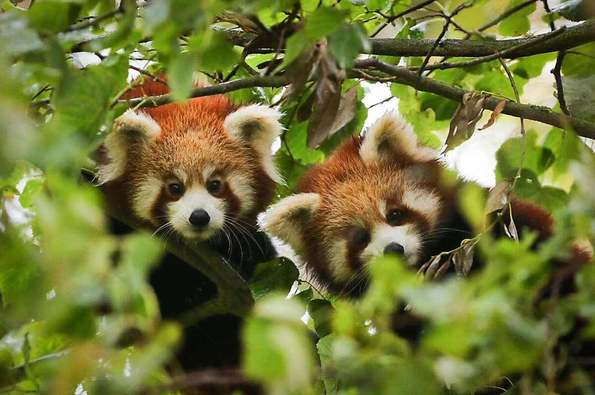 They climb alike, they chew alike, they even eat bamboo alike: You can lose your mind - when pandas are two of a kind. (Red pandas, to be exact, at Port Lympne Wild Animal Park near Ashford, England.)