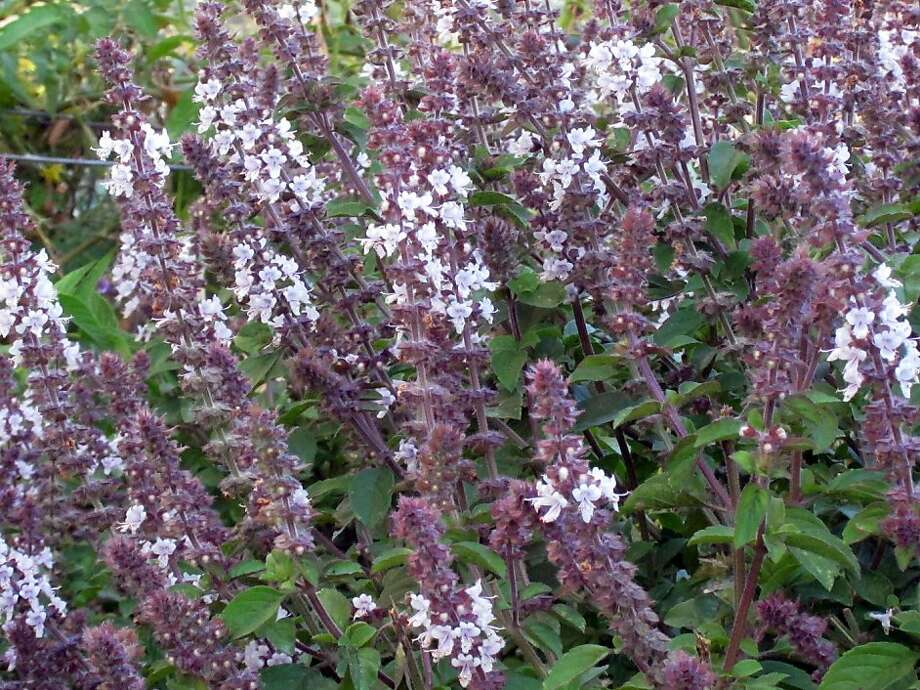 African blue basil is not only ornamental, it also attracts honeybees and beneficial insects, and its flowers and leaves are edible. Photo: Pam Peirce