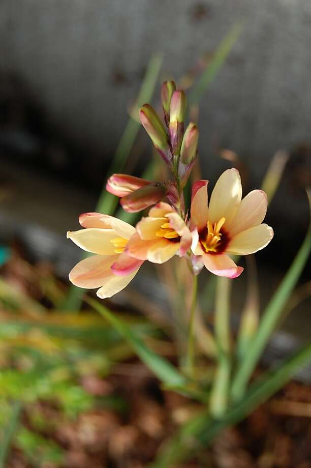 Colorful Spring Blooming Bulbs From South Africa Sfgate