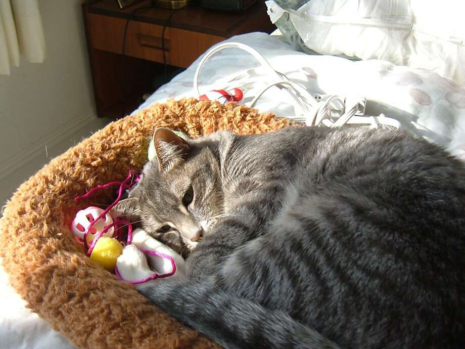 Cuddlebug, a domestic shorthair who lives up to her name, replaced a cat who couldn't be socialized. Photo: Naidia Woolf