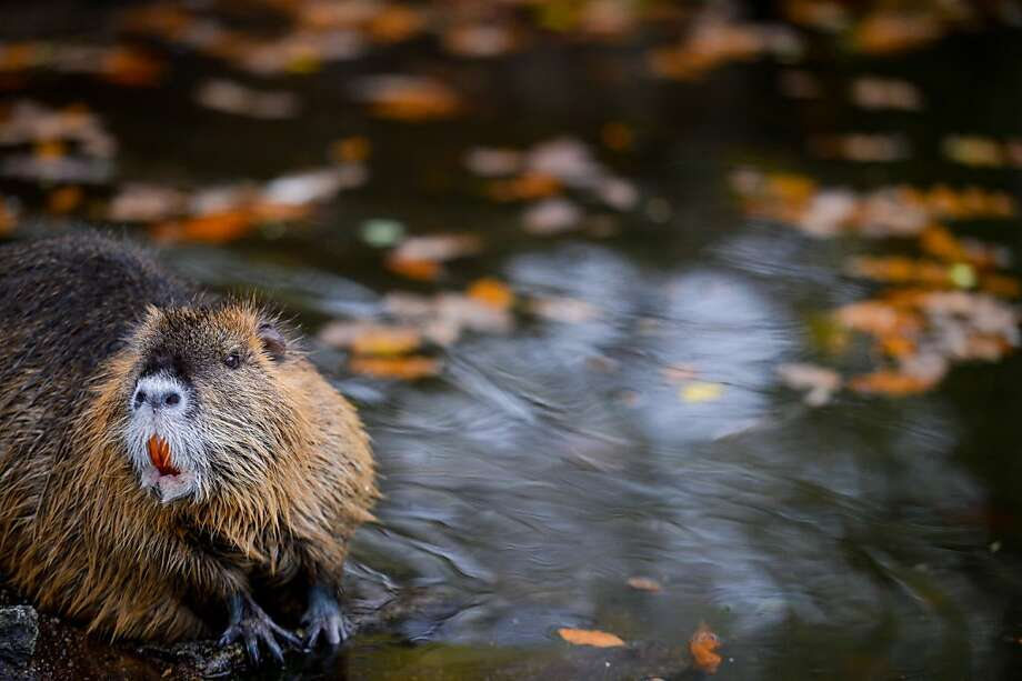 "Aquatic rodent has many handles: A coypu - also known as nutria, nutra-rat, beaver rat, water rat or ""little beaver"" depending on what country you're in - enjoys a wet autumn day at the zoo in Hof, Germany. Photo: David Ebener, AFP/Getty Images"
