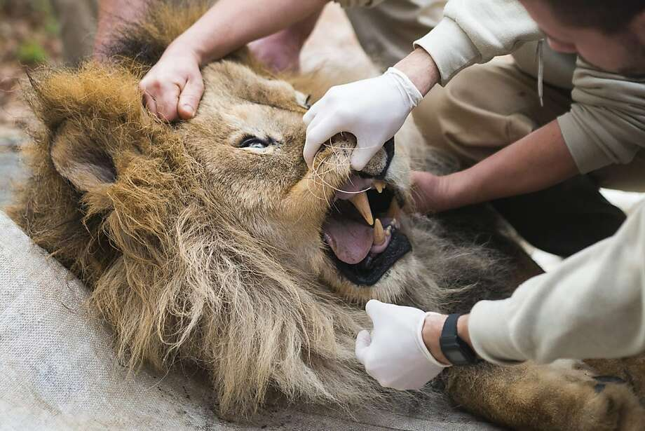 Nobody likes going to the dentist,and that includes Elek, a 17-year-old lion at the zoo in  Nyiregyhaza, Hungary. As the life span of lions in the wild is eight years on average, Elek is highly esteemed for his longevity. Photo: Attila Balazs, Associated Press