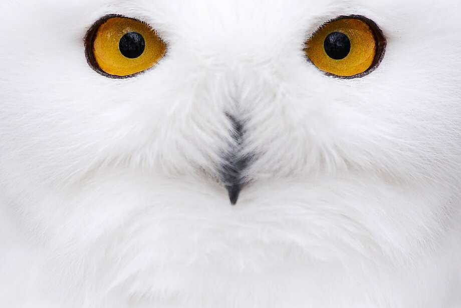 Whooo are you? A snowy owl stares at a visitor to the Hof Zoo in southern Germany. Photo: David Ebener, Associated Press