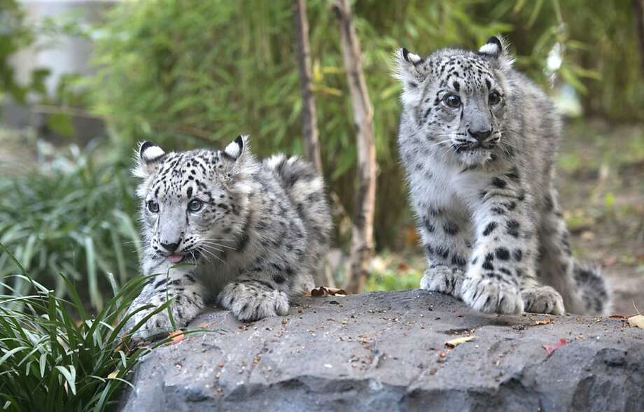 Enjoy seeing double? Here are more twins, care of the Central Park Zoo in New York. If you guessed snow leopards, you're right. Photo: Julie Larsen Maher, Associated Press